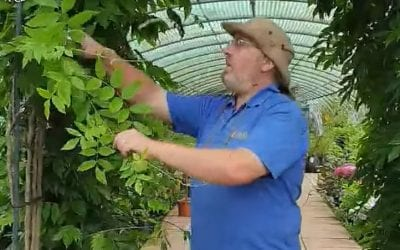 Summer pruning for Wisteria