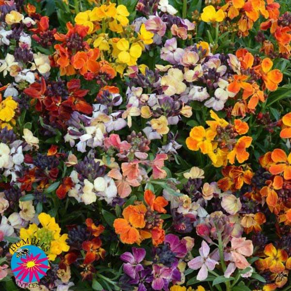 Bare Root Wallflowers now in stock, September 2021