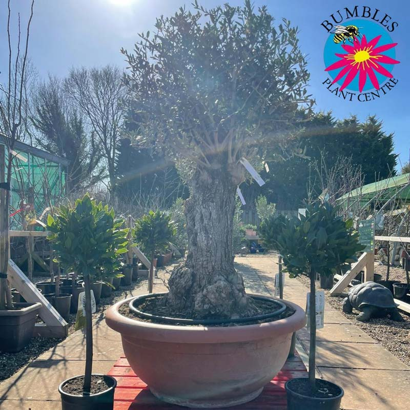 Lovely knarled olive tree at Bumbles, March 2021