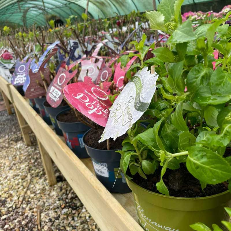 Hydrangeas now in, including Runaway Bride variety, Bumbles March 2021