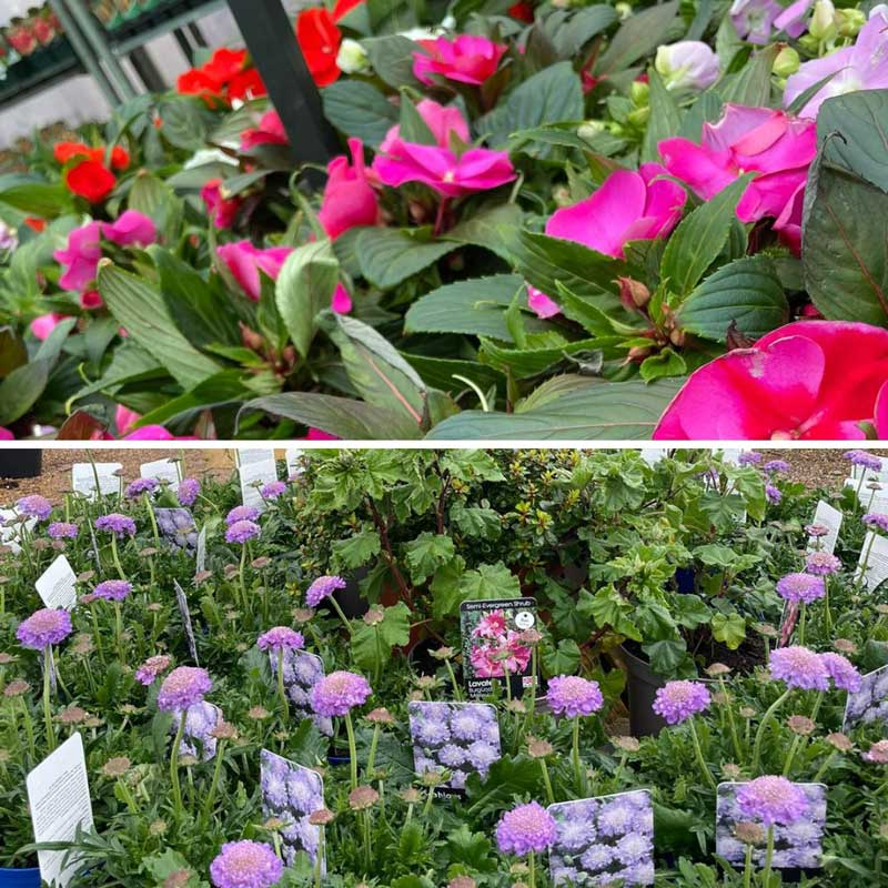 Impatiens and more at Bumbles March 2021