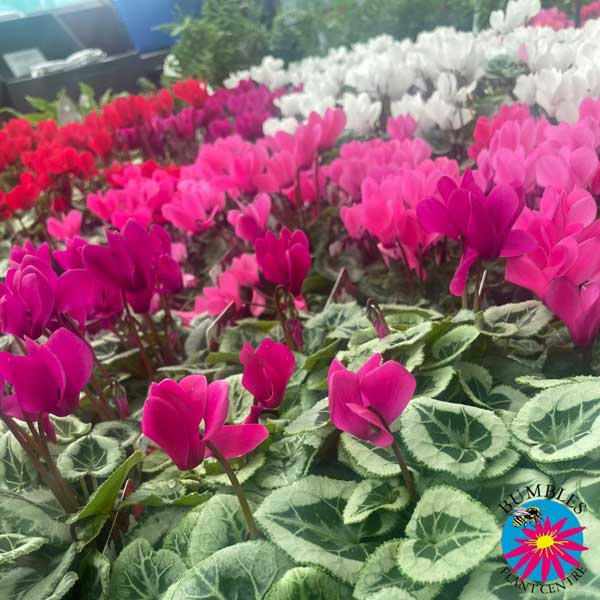 Cyclamen colours at Bumbles, September 2021