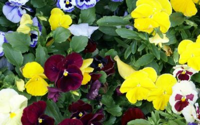 Colourful Pansy & Viola collection