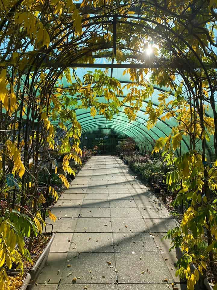 Wisteria arch in autumn colours at Bumbles, November 2020