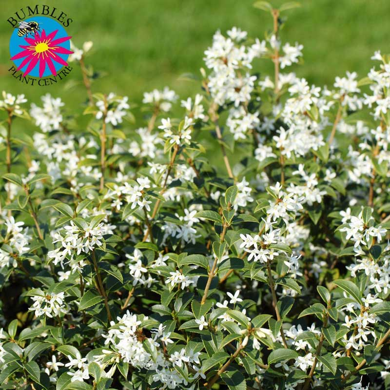 Osmanthus Burkwoodii, everygreen shrub/tree for your garden at Bumbles, March 2021