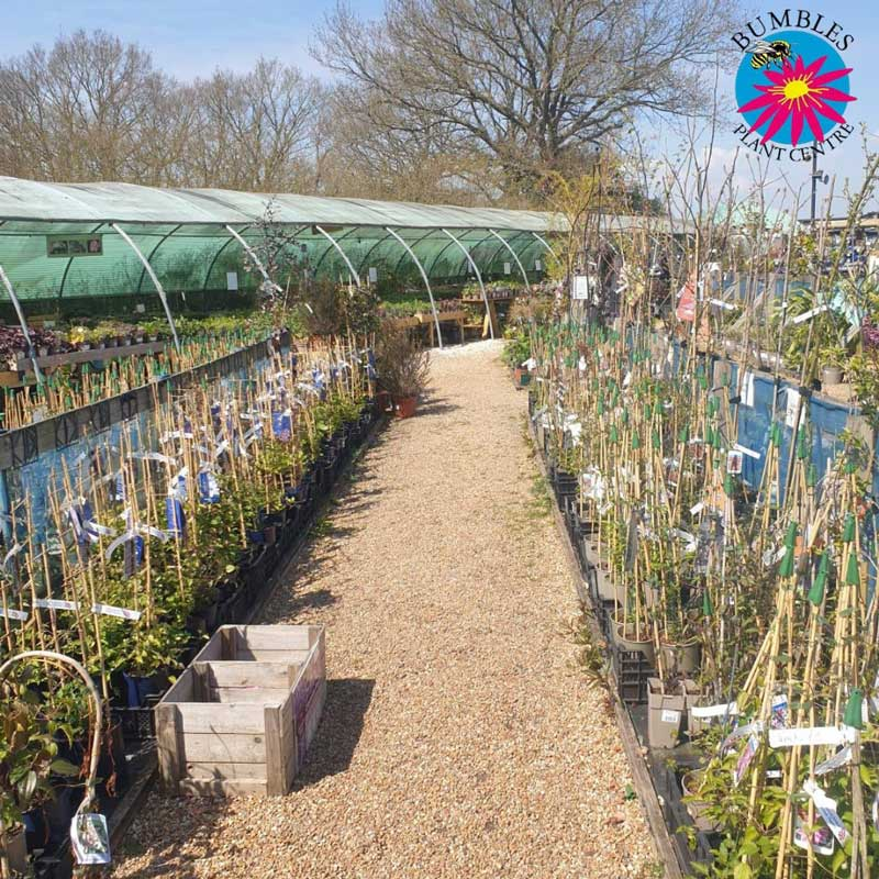 Over 40 different clematis varieties in stock at Bumbles! April 2021