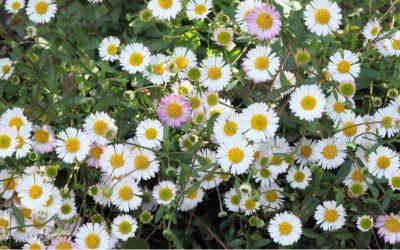 Erigeron Karvinskianus – 'Mexican Daisy'