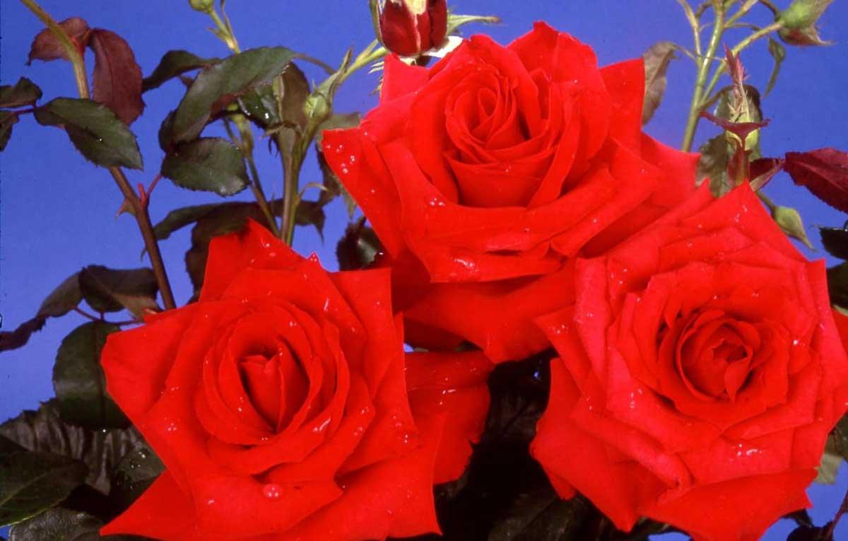 Pride of England Rose
