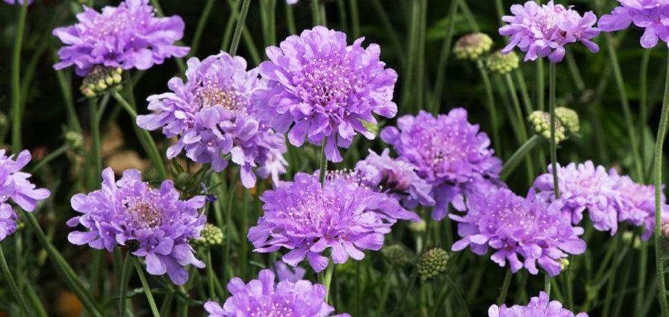 Scabious plants