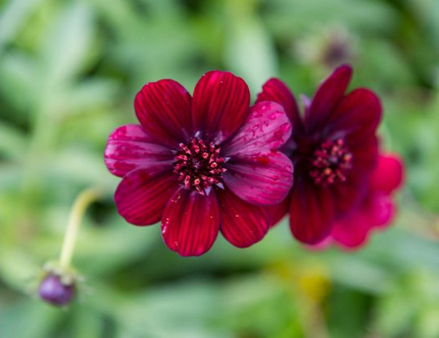 Chocolate Cosmos bedding plant at Bumbles, June 2021