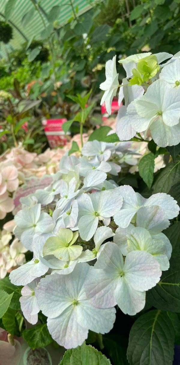 Delicate Hydrangea blooms at Bumbles, June 2021