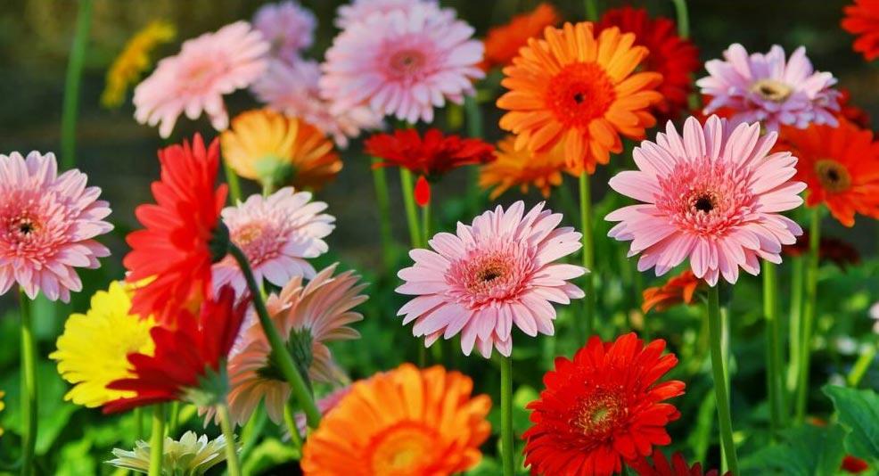 Gerbera flowers at Bumbles, June 2021