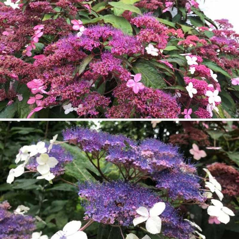 Hydrangea Rosemary Foster available at Bumbles, June 2021