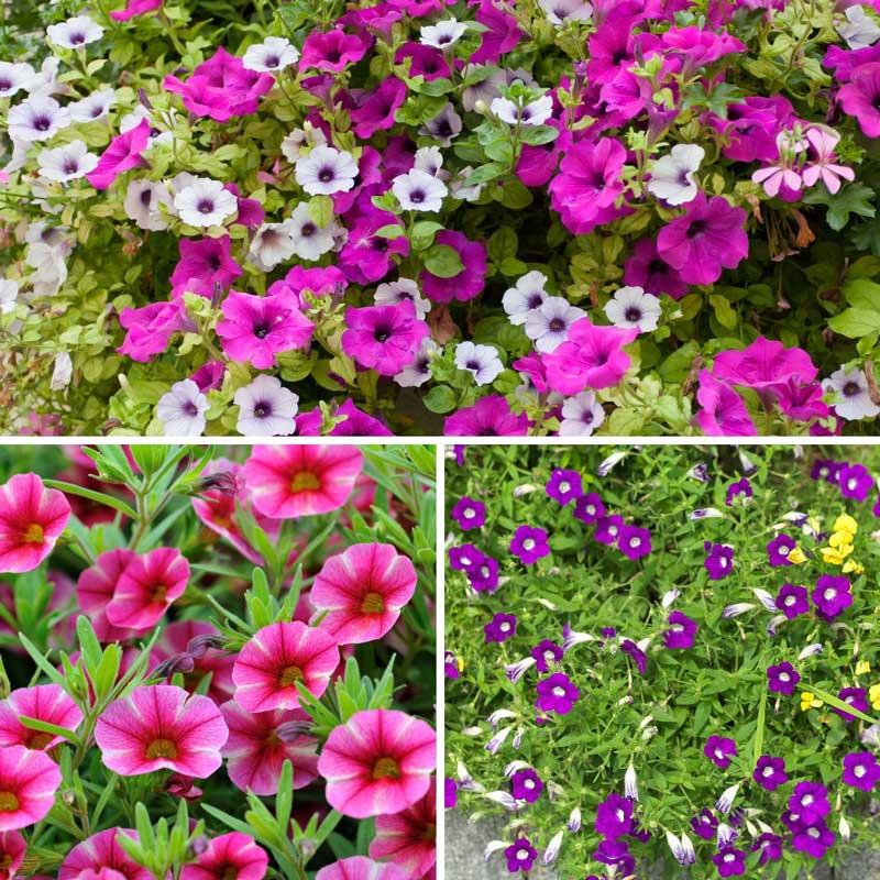 Petunias at Bumbles, June 2021