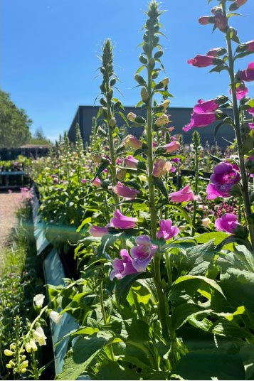 Rows of Foxgloves at Bumbles, June 2021