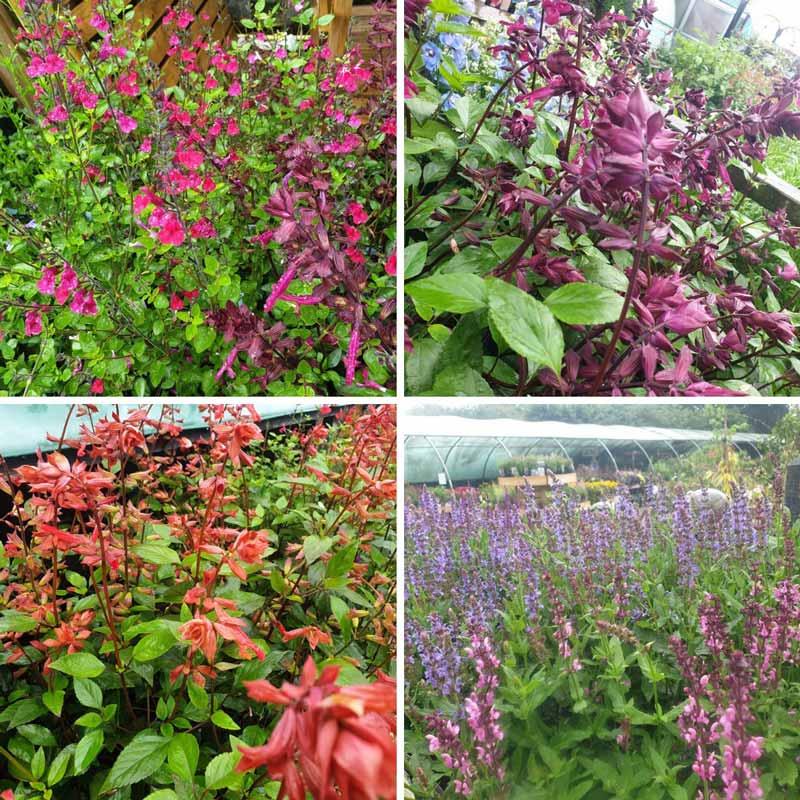 Varieties of Salvia at Bumbles, June 2021