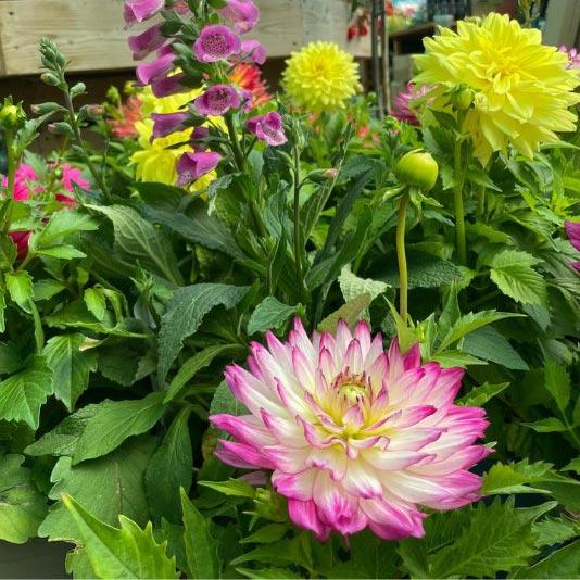 Dahlias for summer colour at Bumbles, June 2021