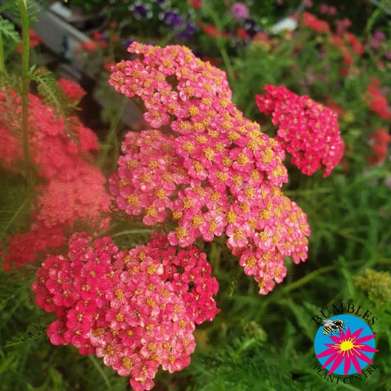 Achillea (Yarrow) available at Bumbles, July 2021