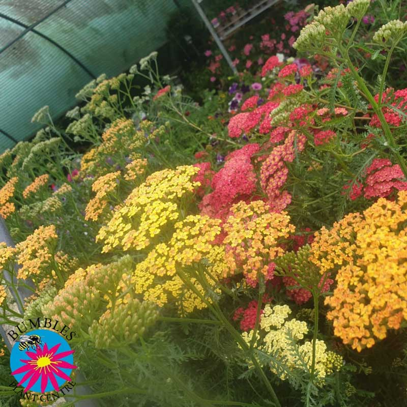 Achillea (Yarrow) varieties available at Bumbles, July 2021