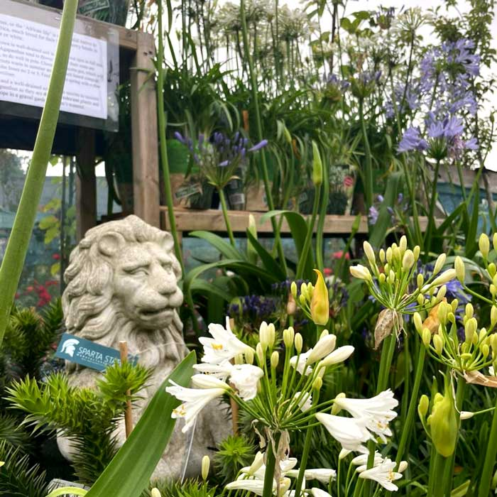 Agapanthus in white, blue & lilac at Bumbles, July 2021