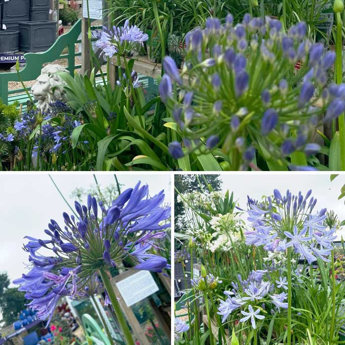 Agapanthus, the 'African Lily' at Bumbles, July 2021