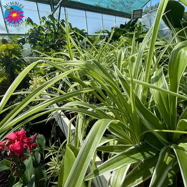 Indoor & Exotic plant offer for Loyalty Card Holders at Bumbles, July 2021