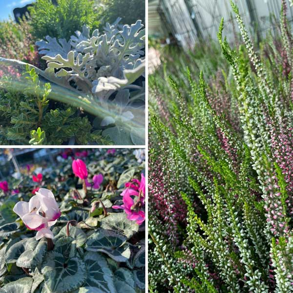 Autumn bedding, cyclamen and heathers at Bumbles September 2021