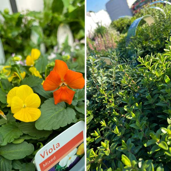 Violas & Hebe for autumn planting at Bumbles, September 2021